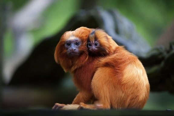 golden-lion-tamarin-120110