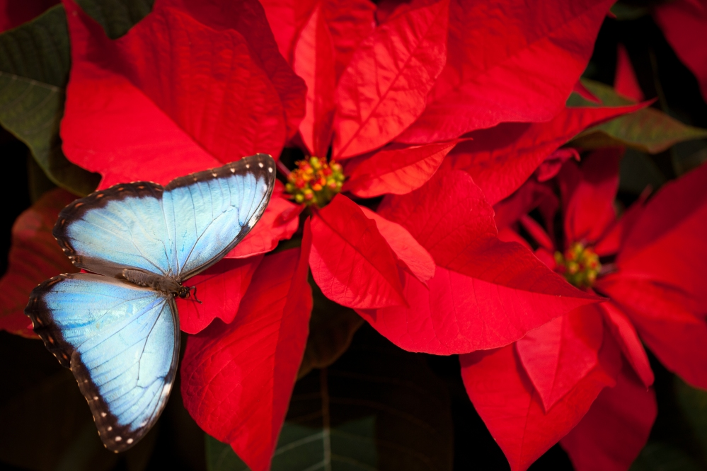 Blue Morpho butterfly on poinsettia. Photo: Peter Kemmer 2011