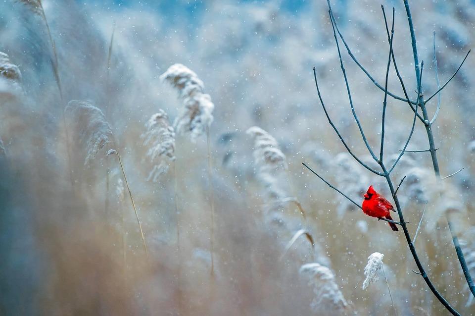 cardinal-snow